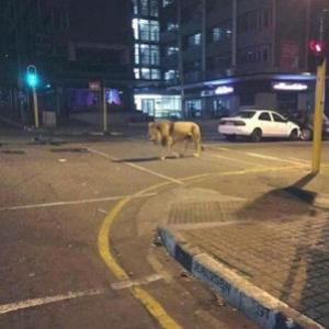ライオン逃げた