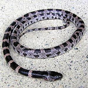 シロマダラヘビ