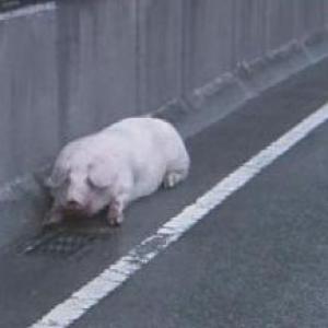 阪神高速 豚