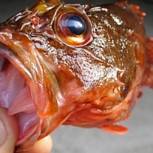 魚へんに底